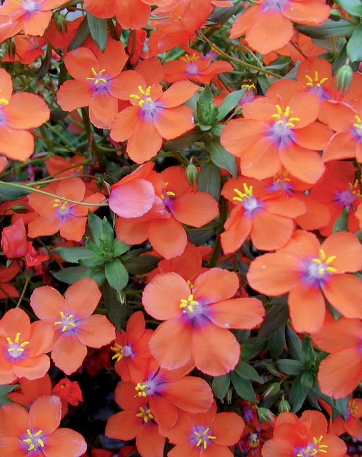 'Wildcat Orange'Anagallis hybrid. Early flowering with large orange flowers all season. Heat Tolerant, Deadheading not necessary, Full sun.   For next to the house!
