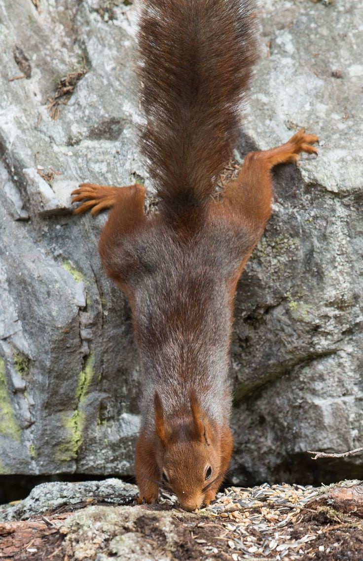 Nose dive.... Ouch!!! mmmm Red nose squirrel!