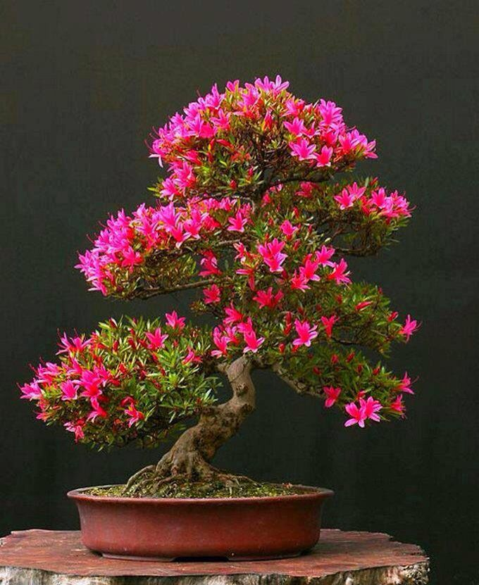 the delicate strength of a beautiful pink flowering bonsai