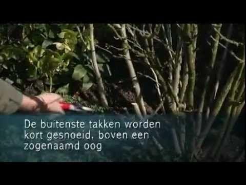 Video hibiscus snoeien in maart en april-Tuinen.nl