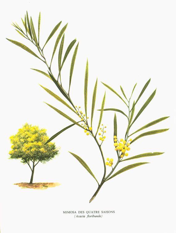 1967 Mimosa des 4 Saisons. Acacia floribunda. Planche botanique. Fleurs jaunes. Plantes Nice Cote d'Azur.