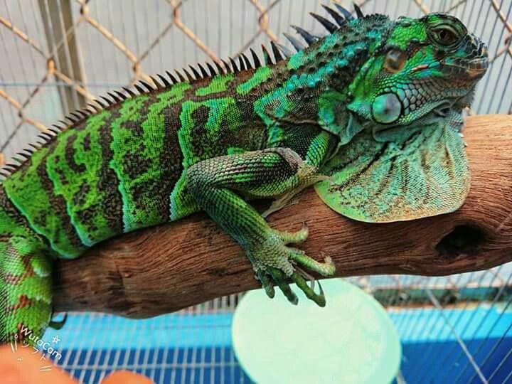 Pin By Janina On Echsen Frosche Schlangen Tropical Fish Aquarium Reptiles And Amphibians Animals Artwork