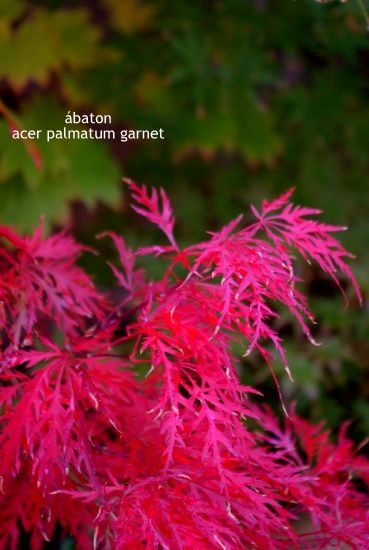 Arces Japoneses - Acer Palmatum - Japanese Maples from our nursery
