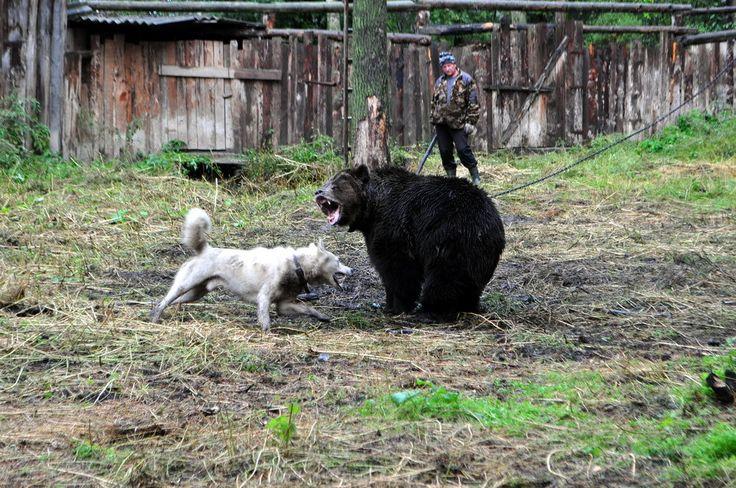 ВР хочет запретить использование медведей и волков для притравки охотничьих собак - УНИАН