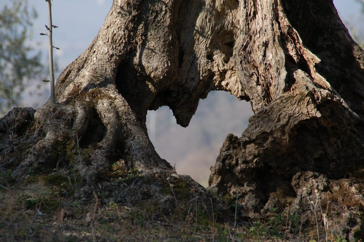 """Qual è l'elisir di lunga vita di questa dinastia tutta al femminile? La risposta è forse racchiusa nelle radici degli alberi d'ulivo arrivati dall'Australia con Anna e i suoi genitori, da molti anni fonte di sostentamento della famiglia? E' anche da qui che si passa leggendo """"Le radici dell'albero d'ulivo"""" di Courtney Miller Santo."""