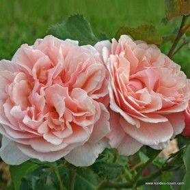 17 best images about roses pinks magenta on pinterest. Black Bedroom Furniture Sets. Home Design Ideas