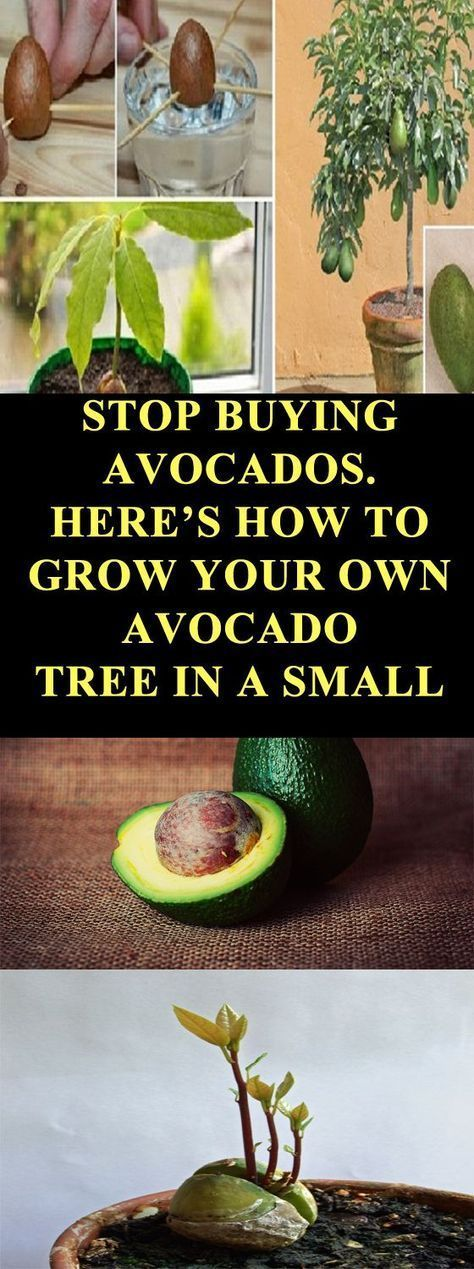 Grow An Avocado Tree In Your Own Garden Pot. Plus A Tutorial Is Included!