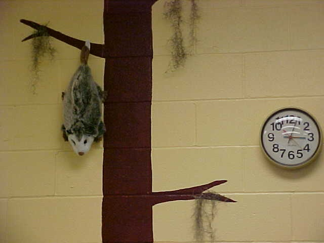 Swamp theme classroom (pussum puppet on a painted cypress tree)