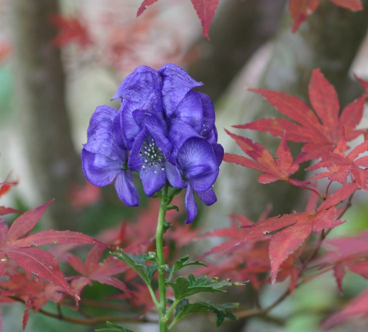 Monkshood bloom among fall foliage of Japanese maple. Fall is the best time to transplant bulbs, shrubs and trees. By far best survival rates. http://www.shadegardenexpert.com/