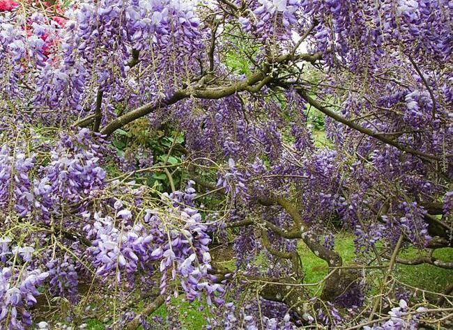 17 best images about arbustes on pinterest purple. Black Bedroom Furniture Sets. Home Design Ideas