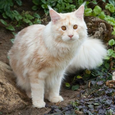 egyptian breed cat