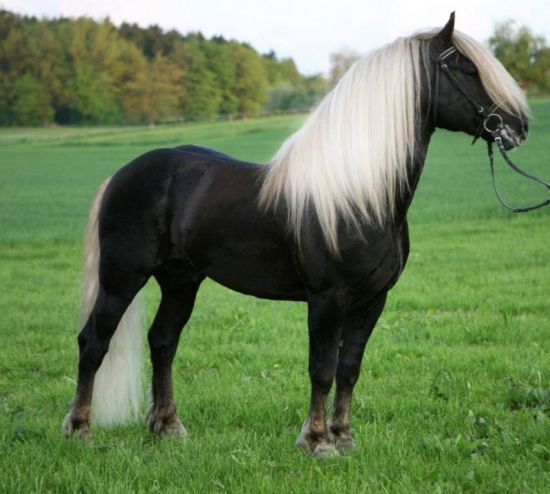 This looks like a horse my trainer used to ride; Diamonds. Black Forest horse.