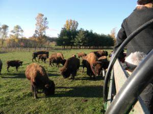 An Experience Like No Other at the Pohl Bison Bed and Breakfast near Mt. Pleasant