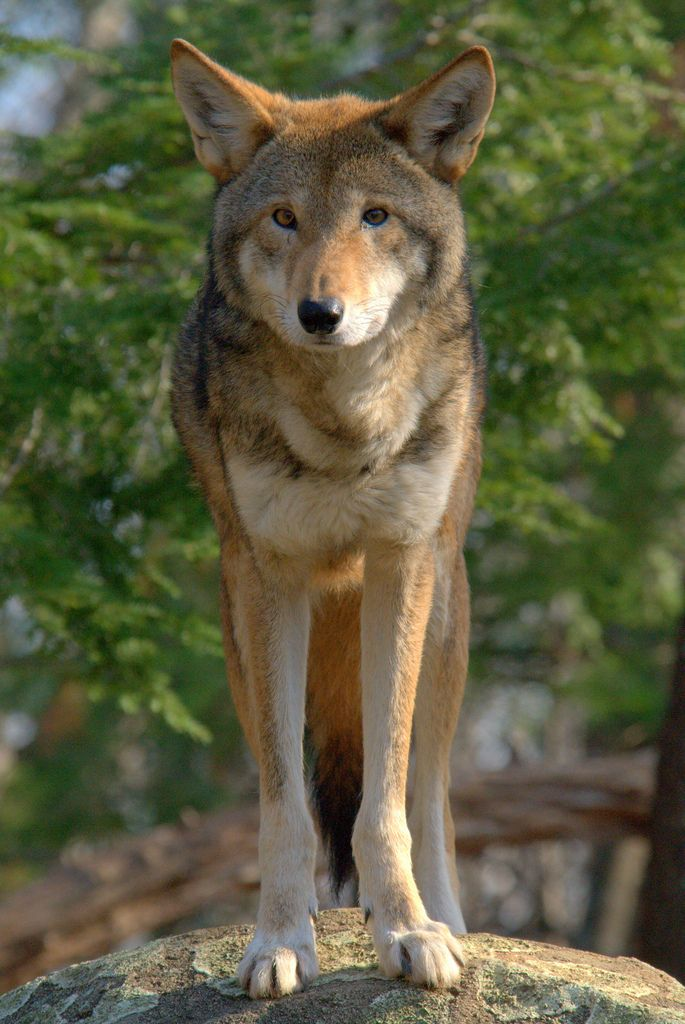 Red Wolf (Canis rufus) by ucumari  Did you know that northeastern North Carolina (US) is home to the world's only wild population of red wolves? The endangered red wolf is present in portions of Dare, Tyrrell, Hyde, Washington, and Beaufort Counties.  Courtesy Field Trip Earth