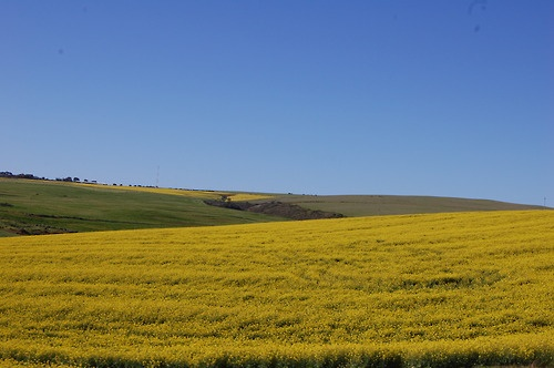 yellow flowers along the N2 towards Caledon