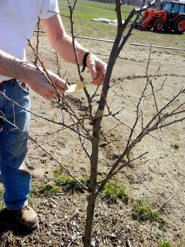 Great video on pruning fruit trees