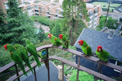 The parrots of Telegraph Hill