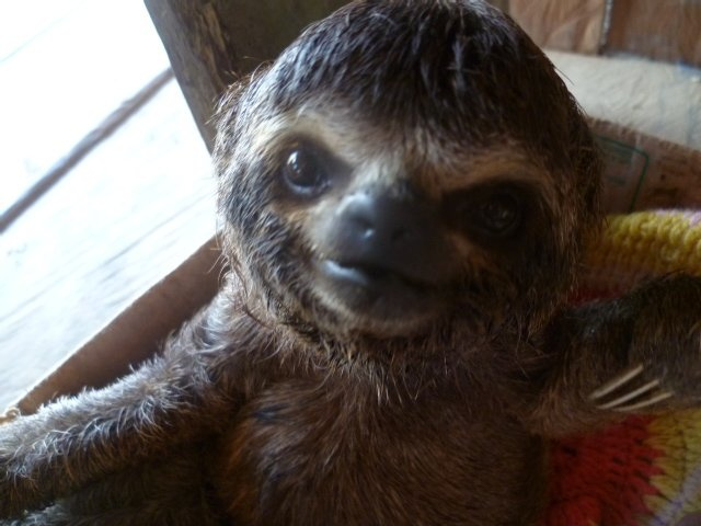 Best SlothsFascinating Images On Pinterest Adorable Animals - 5 month old baby and sloth are the most unlikely of best friends
