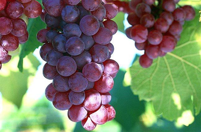 A szőlőmag, mint az egyik legjobb antioxidáns