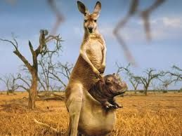 Resultado de imagen para canguro australiano bebe