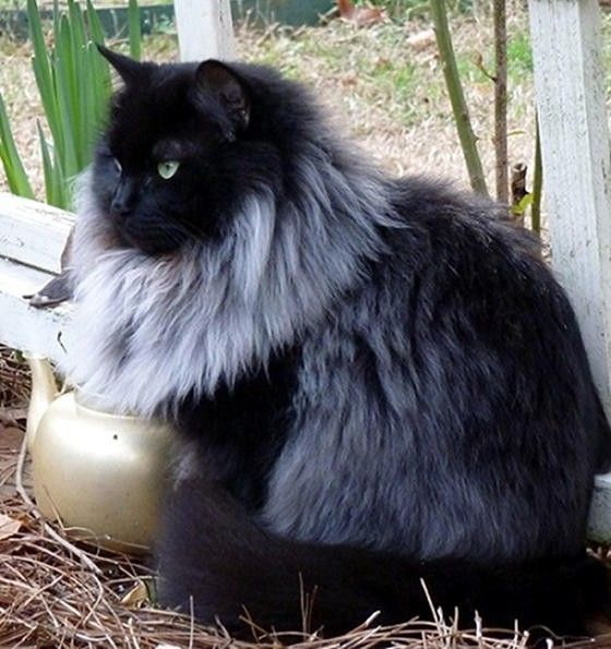 Best Unusual Cats Images On Pinterest Kitty Cats Beautiful - Meet scrappy 19 year old black cat grew unique marble fur due rare skin condition