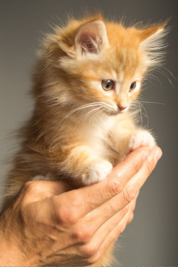 Cats For Sale Near Me Catsoutofthebag Cat Breeds Cats That Dont Shed Cats