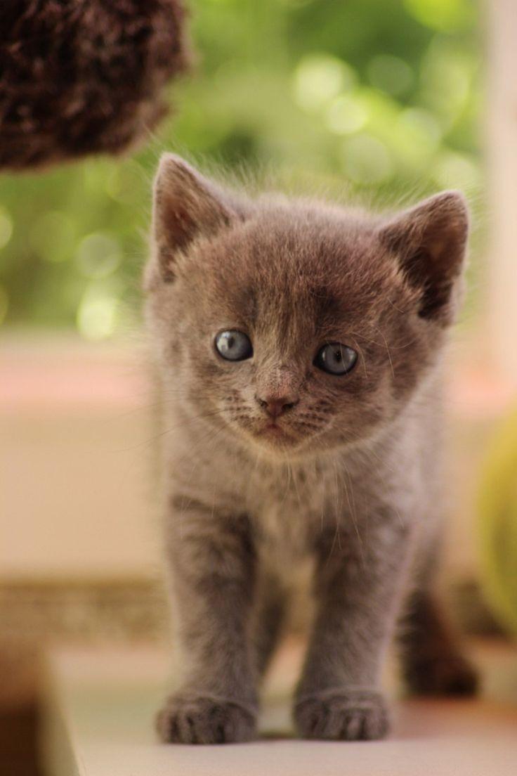 Les 25 meilleures id es concernant chaton bleu russe sur pinterest chats bleus chats gris et - Enlever les puces sur un chaton ...