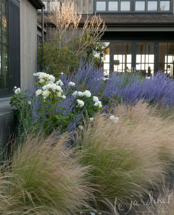 Moondance rose russian sage mexican feather grass via for Planting schemes with grasses