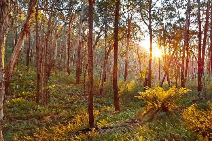 Forests and ferns in the King Valley - Alpine National Park on the way to Mount Cobbler.