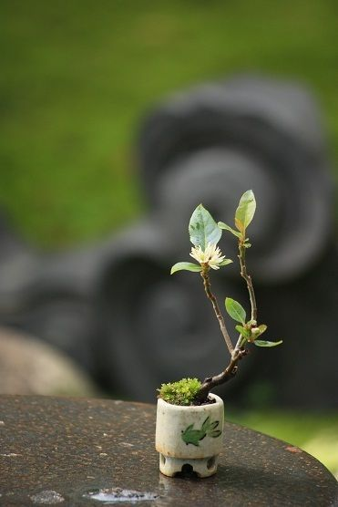 A tiny bonsai tree. It is amazing that these guys can even grow in a pot so small, with such little soil....See more bonsai trees at http://www.nurserytreewholesalers.com/