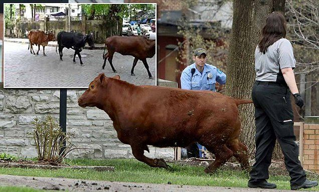 New Jersey... Cattle break free from slaughterhouse in St Louis | Daily Mail Online