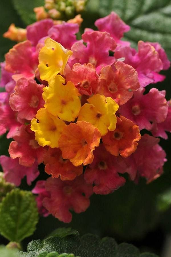 Buy Little Lucky Hot Pink Lantana Butterfly Bush Hot Pink Yellow Flowers At Root 98 Warehouse For Only 37 95 Butterfly Bushes Hummingbird Attractors