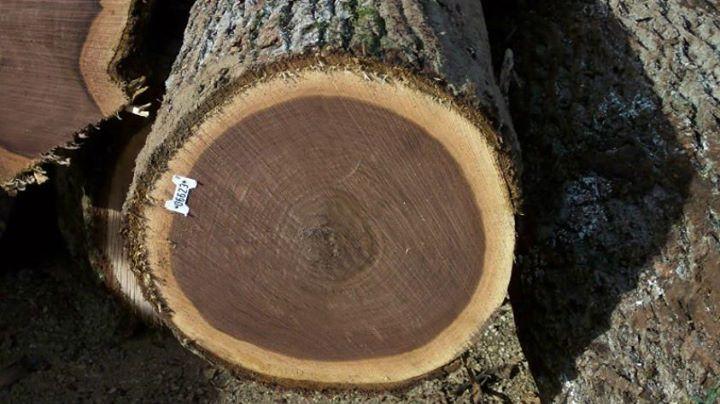 【黑胡桃木】Black Walnut 學名:Juglans nigra 胡桃科胡桃屬落葉樹  分佈在美東、加拿大奧大略的黑胡桃木,與柚木、紫檀、桃花心木並列為世界高級木材。日本曾經一度過度流行使用在傢俱、內裝上,而造成了美國禁止黑胡桃木原木的出口,加上現在林地幾乎都已開發為農地的緣故,蓄積量變得非常少。 黑胡桃木的心材與邊材界線清楚,邊材為白色,而心材在剛採伐時為淺褐色,過一段時間後會轉為深褐色。日照較多的木材顏色較深,反之較淺。 黑胡桃木的木紋優美,稍微加工即能展現出豔麗的光澤,加上耐久性佳,心材不易受到蟲害,從過去到現在都是高級傢俱、樂器和工藝用材,也被用在地板材與內裝板材上。由於黑胡桃木樹幹直挺,廢材率低,以木材而言,是相當有價值的樹種。  #黑胡桃木 #木材資料庫