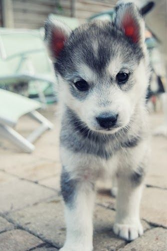 .OMG THIS IS ADORABLE: Animals, Dogs, So Cute, Pet, Puppys, Box, Baby, Huskies Puppies
