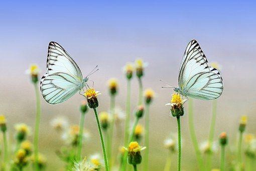Schmetterling, Insekt, Makro, Tier