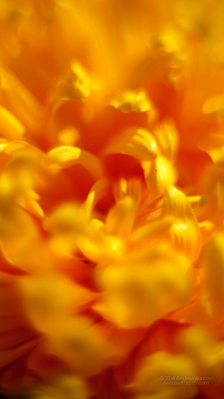 Schöne Chrysantheme Blume Hintergrundbild 750x1334. Hintergrundbilder kostenlos herunterladen 750 x 1334 #21