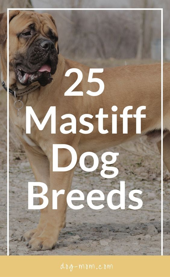 Did you know that there are over 20 mastiff breeds? Or that a Pug is considered a mastiff? Check out the list we have of all the mastiff breeds!