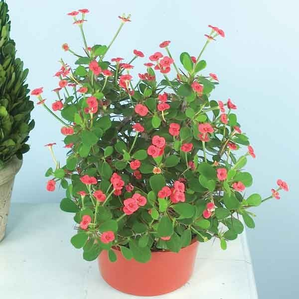 how to get crown of thorns to bloom