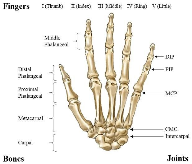 Bones And Joints Of A Human Hand Bone And Joint Joints Anatomy Hand Anatomy