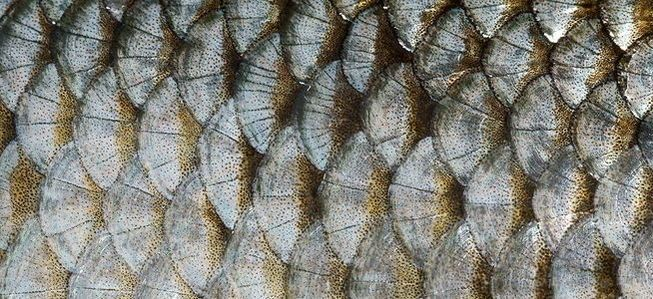 Scales provide penetrative protection: striped bass - Ask Nature - the Biomimicry Design Portal: biomimetics, architecture, biology, innovation inspired by nature, industrial design