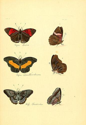 n222_w1150 | Illustrations of exotic entomology :. London :H… | Flickr