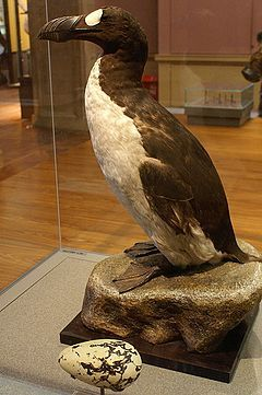 Great Auk (Penguinus impennis) is a flightless bird that became extinct in 1852 and was the first bird to be called a penguin it ranged as far south as northern Spain, Canada, Greenland, Iceland, Faroe Islands, Norway, Ireland and Great Britain.