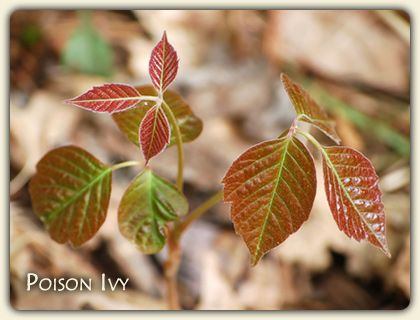 Learn the Poison Ivy Plant. Identify the facts here! love the perspective on poison ivy.