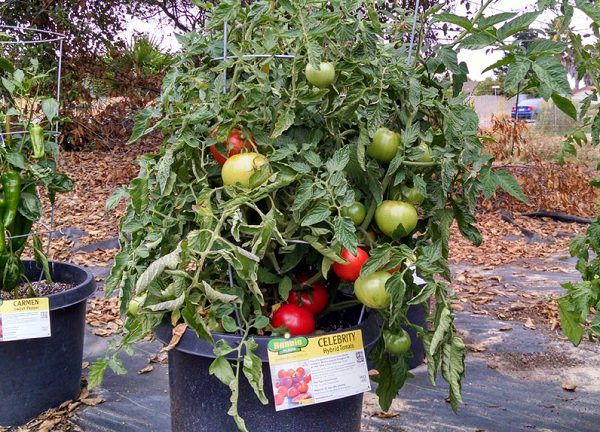 8 Best Wilt Resistant Tomatoes Images On Pinterest 400 x 300