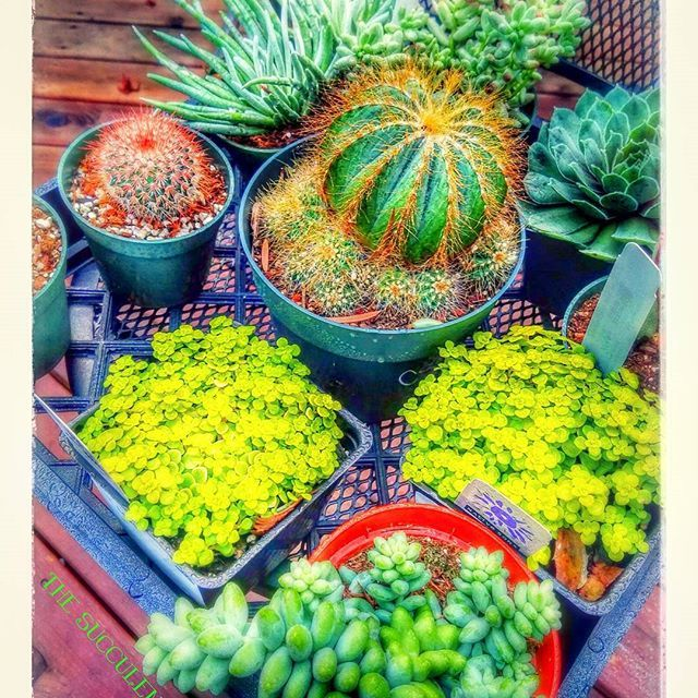 Some of my selection to play with this weekend ♡♡♡ Google did an auto thing with my picture and thought it looked cool☆ #thesucculentdish #succulentdish #succulents #cactus #sempervivum #succ #succulentsofinstagram #succulent #succulentlove #succulentobsession #succulentobsessed #succulentgardens  #succulentsinnature #succulentgardens #etsyfinds #cylcollective #makersmovement #creativelifehappylife #abmlifeiscolorful #creativityfound #pursuepretty #thatsdarling #dscolor #flashesofdelight…