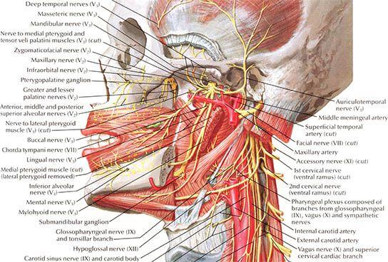 Netter 3d anatomy