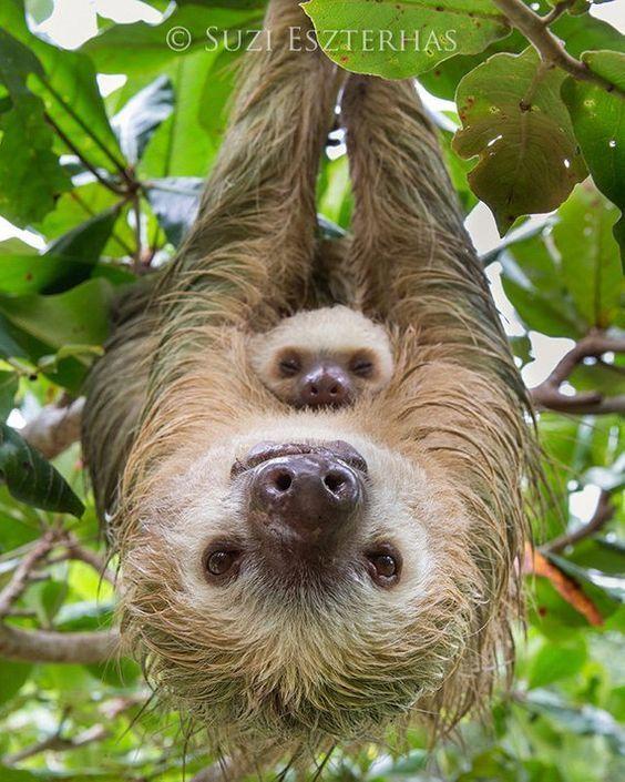Animal Nursery Art, MOM and BABY SLOTH, Baby Animal Photography, Wildlife Photography, Safari Nurser – Sloths