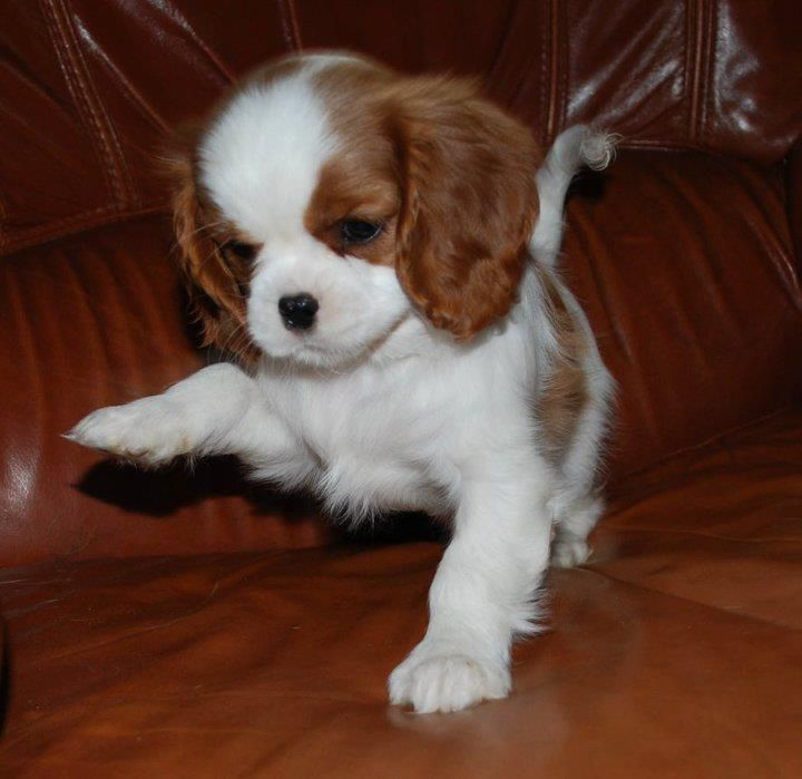 Cavalier King Charles Spaniel Puppy playing and prancing   Too Cute!