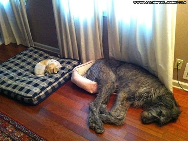 DominadoDogs Beds, Small Dogs, Silly Dogs, Irish Wolfhounds, Bigdogs, So Funny, Little Dogs, Big Dogs, Animal