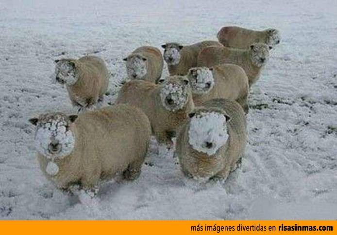 Ovejas después de una guerra... ¡De bolas de nieve!